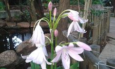 Pink lillies found in our magnificent gardens.