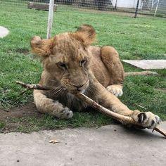 Sonny and his stick! #BabySonnyBJWT #SaveLions #BlackJaguarWhiteTiger #TheBluePrideBJWT #NotPets #ItsAllForLOVE @blackjaguarwhitetiger