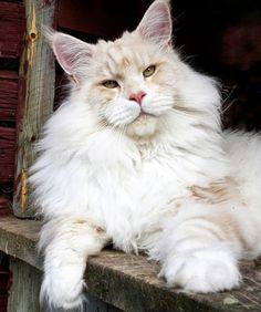 Lotus The Majestic Maine Coon Cat Is A Massive Ball of Love - We Love Cats and Kittens Cute Cats And Kittens, Kittens Cutest, Cutest Pets, Maine Coon Cats, Gato Maine, F2 Savannah Cat, Doja Cat, Funny Cat Videos, Funny Cats