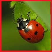 Live Ladybugs for Aphid Control Environmentally Safe Adults live months eating pests per day Spirit Animal Totem, Animal Totems, Get Rid Of Aphids, Natural Pesticides, Pest Management, Beneficial Insects, Garden Pests, Pest Control, Organic Gardening