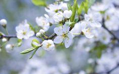 白いリンゴの花、芽、花びら、小枝 壁紙 - 2560x1600