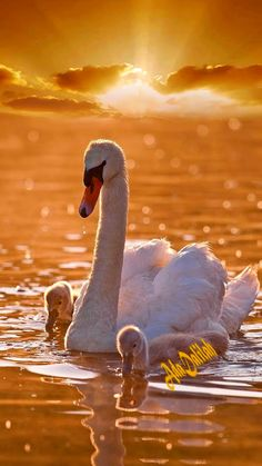 Swan Love, Beautiful Swan, Most Beautiful Birds, Swan Pictures, Life Pictures, Animals And Pets, Baby Animals, Cute Animals, Beautiful Nature Wallpaper