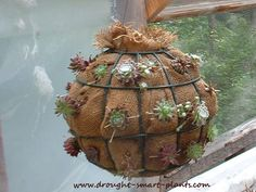 Lined with burlap and just planted, this succulent ball will take several seasons to show its true colors, just in time for the burlap to rot and have to be taken apart to do it all again...succulent crafts are so fleeting...