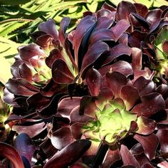 Aeonium 'Blackbeard' at San Marcos Growers WONDERFUL source with the description of lots and lots of succulents