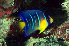 Image result for Queen Angelfish