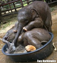 """""""This must be the cutest baby elephant photo ever. It was taken by Ewa Narkiewicz and posted on her Facebook page. Ewa is the communications officer for the Elephant Stay at the Royal Elephant Kraal and Village in Ayutthaya [Thailand]."""" -- More info at click-through."""