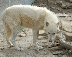 Animal Dads | Nature's 10 best animal dads: Wolf