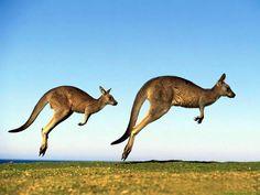 Kangaroos-australian-animals-33682503-1024-768