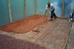 Bevor es zu Fäulnis kommt, werden die Bohnen getrocknet: Fertig zum Verschiffen!