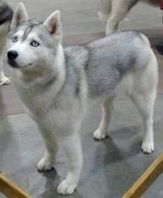 silver and white siberian husky
