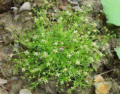 Sagina procumbens (Liggende vetmuur) - Goed te betreden, vaak gezien als onkruid