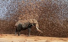elephant and a flock of red-billed quelea (photo by antero topp) (photo by antero topp)