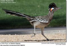 Roadrunner......My father loved the Roadrunners they had when they were Snowbirds in Arizona.