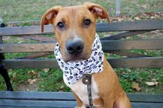 "POINDEXTER aka YORK - A1093242 - - Manhattan  Please Share:TO BE DESTROYED 10/20/16**PUPPY ALERT!**A volunteer writes: Google Poindexter and it will say: ""a boringly studious and socially inept person""……………..which is actually the polar opposite of our Poindexter. Puppy Poindexter is playful, sweet, fun, energetic, smart and chock full of personality. He's the life of the party, able to amuse himself with a toy tossing it aroun"