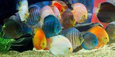 Discus Tank, Discus Aquarium, Home Aquarium, Fish Tank, Aquariums, Tropical Freshwater Fish, Tropical Fish, Discus Fish For Sale, Mosquito Larvae