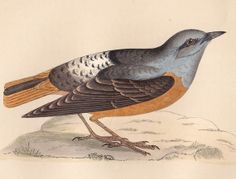 Rock Thrush print  This is a beautiful hand coloured print from Rev. Francis Orpen Morris' A History of British Birds.