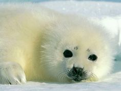 A baby harp seal rest on the Arctic ice pets-birds-animals Baby Animals Pictures, Cute Baby Animals, Funny Animals, Animal Babies, Baby Harp Seal, Baby Seal, National Geographic Animals, Seal Pup, Seal Seal