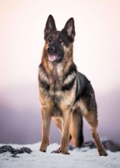 German Shepherd Photography 13 #GermanShepherd