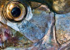 Tarpon Eye