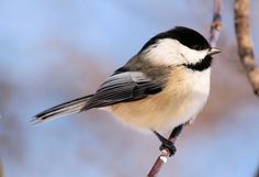 Mighty Black-capped Chickadee. This adorable familiar friend frequents Cedar Run year round, impressing me most during the brutally cold days of winter. These minute charmers keep themselves warm by eating high energy foods such as black oil sunflower seeds, suet, and insects.