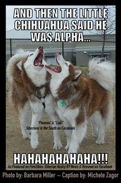 A #FiveSibes Merry Meme! As featured on FiveSibes: Siberian Husky K9 News & Reviews on Facebook!