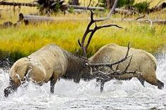 RJ's Images of Nature - Bull Elk Fight in Madison River - 6251-
