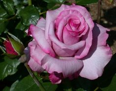 Lovely Barbara Streisand Rose has a purple tinge around the ruffles of the rose.