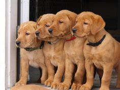 Fox Red labs