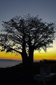 Baobab africain, Adansonia digitata