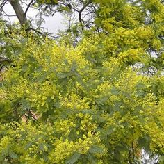 Invasive Species South Africa - Protecting Biodiversity from Invasion - Silver wattle Colorful Flowers, Spring Flowers, Fast Growing Evergreens, Forest Habitat, A Kind Of Magic, Evergreen Trees, Flowering Trees, Fruit Trees, Acacia