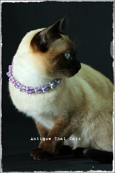 誕生日首輪 วันเกิด birthday 2015 シャム猫 タイ 原種 Siamese cat Thailand แมว ไทย วิเชียรมาศ