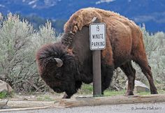 Parking Bison by Jen Hall Buffalo S, Buffalo Animal, Animals Of The World, Animals And Pets, Wild Animals, Funny Animals, Animal Bufalo, Buffalo Painting, Amazing Animal Pictures