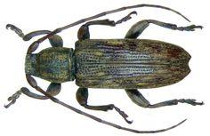 Family: Cerambycidae Size: 7 mm Location: Indonesia, Sulawesi, Kendari leg.O.Beccan 1914; det. Breuning, 1939 Holotype, Coll. Museum Genoa Photo: U.Schmidt, 2008