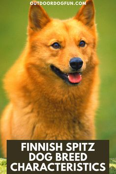 Not a huge surprise due to their name, but the Finnish Spitz is the most common dog breed in Finland! This little fox will need plenty of exercise and time spent outdoors. If you want a quiet pup, this may not be the best breed for you. Discover this fun breed on our site. #finnishspitz #dogbreeds #dogs Spitz Dog Breeds, Spitz Dogs, Best Dog Breeds, Big Dogs, Small Dogs, Funny Dogs, Cute Dogs, American Eskimo Dog, Hiking Dogs