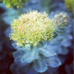 The fragrant Rhodiola rosea root, also known as roseroot, has been used throughout history in Iceland, Sweden, France, Russia, and Greece. #Rhodiola #MeetYourHerbs #latergram #gaiaherbs