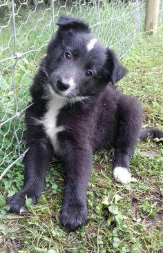 Rhea #8weeksold #cute #puppy #shetlie