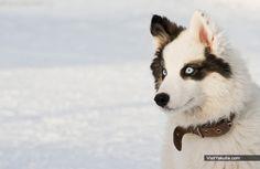 Катание на собачьих упряжках с голубоглазыми якутскими лайками в таежном лесу и по реке Лена. Зимний тур в Якутске, Якутия. Автор фото: Айар Варламов.