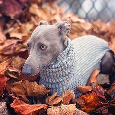 Autumn Italian greyhound