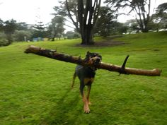I like big sticks and I can not lie...♫♪♫♩♬ My Cola - huntaway doberman x
