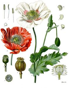 Papaver Somniferum.