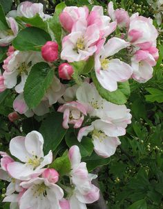 State Flowers Photo Gallery: Arkansas State Flower - Apple Blossom