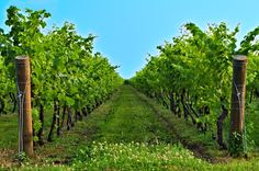 #HoUnSognoDa realizzare. Fare un #vino con #passione e renderlo indimenticabile. #ventaglidiparole #vendemmia