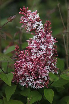 Lilac Superba | Syringa pubescens subsp. 'microphylla Superba' raises its slender branches to make a substantial shrub. Rose pink flowers add their scent to the garden in April and May and intermittently until October. Distinctive heart-shaped leaves. H 2m