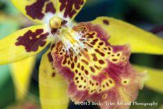 Odontocidium Orchid Fine Art Photo Print by BeckyTylerArt on Etsy, $20.00