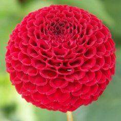 Johann Dahlia - from the national dahlia collection