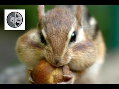 The eastern chipmunk is an hyperactive mammal. Discover its habitat, its diet and its behavior. Woodland Critters, Chipmunks, Cyc, Mammals, Habitats, North America, Wildlife, Films