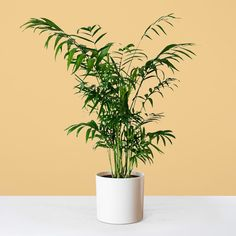 Sharon our Parlour Palm is the perfect plant for beginners and busy Londoners. Learn more about the Chamaedorea & buy online from Patch. Calathea, Chinese Money Plant, Small Palms, Golden Pothos, Living Room Plants, Rubber Plant, Decoration Plante, Plants Are Friends, Liquid Fertilizer