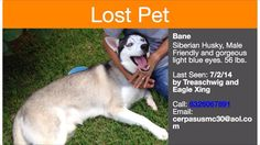 #Lostdog 7-2-14 #Spring #TX #SiberianHusky Light blue eyes 56 LBS Gorgeous 832-606-7891 https://m.facebook.com/story.php?story_fbid=798448230186525&id=354914621206557