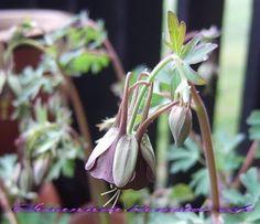 Aquilegia viridiflora 'Choolate Soldier'
