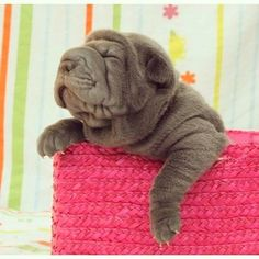 This Shar-Pei puppy needs a little help getting out of his basket. | The 19 Most Squishable Dogs On Instagram